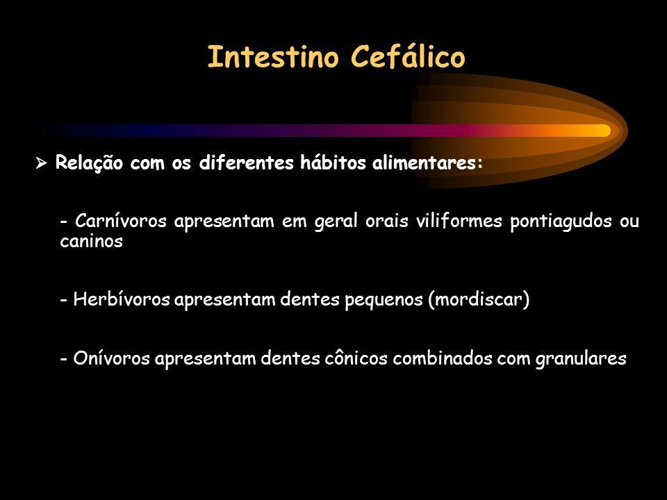 Intestino Cefálico  Relação com os diferentes hábitos alimentares: - Carnívoros apresentam em geral orais viliformes pontiagudos ou caninos.