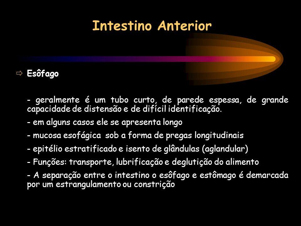 Intestino Anterior Esôfago