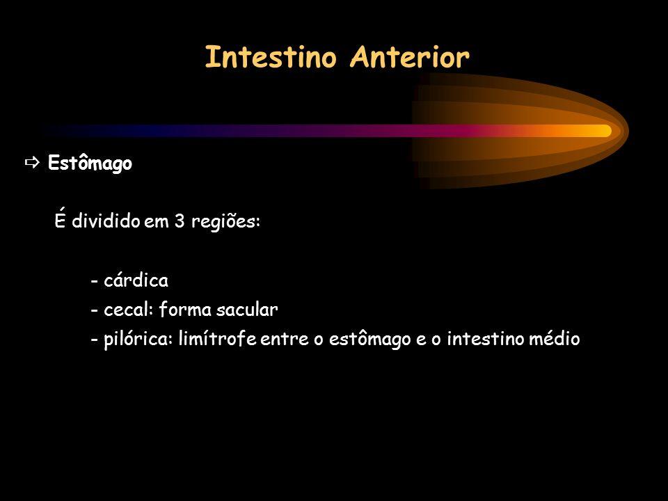 Intestino Anterior  Estômago É dividido em 3 regiões: - cárdica