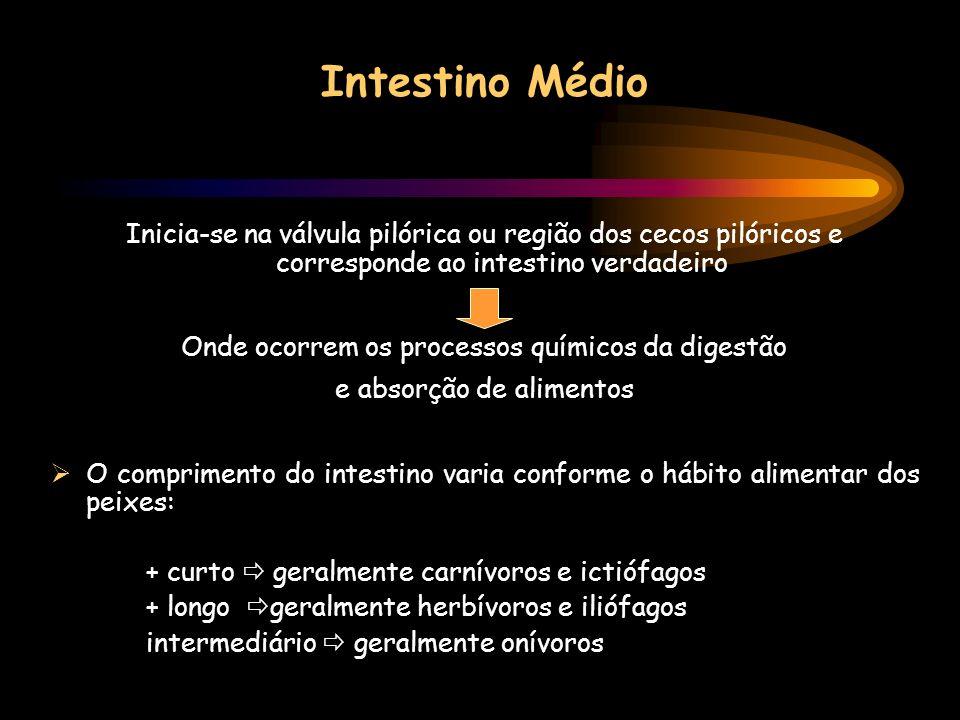 Intestino Médio Inicia-se na válvula pilórica ou região dos cecos pilóricos e corresponde ao intestino verdadeiro.