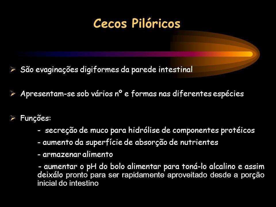 Cecos Pilóricos São evaginações digiformes da parede intestinal