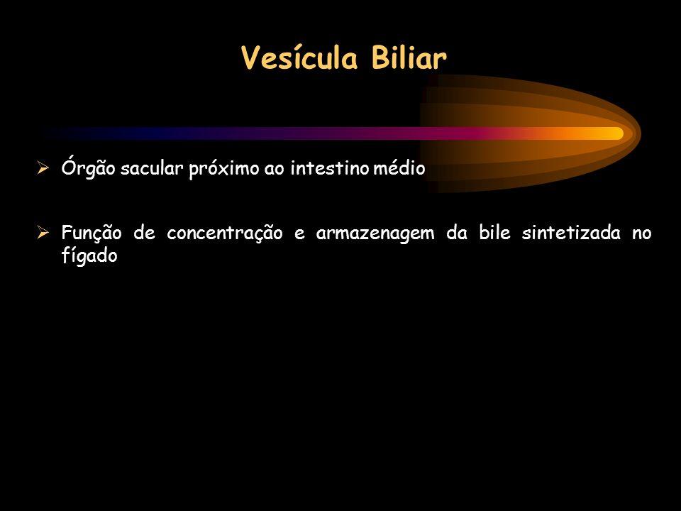 Vesícula Biliar Órgão sacular próximo ao intestino médio
