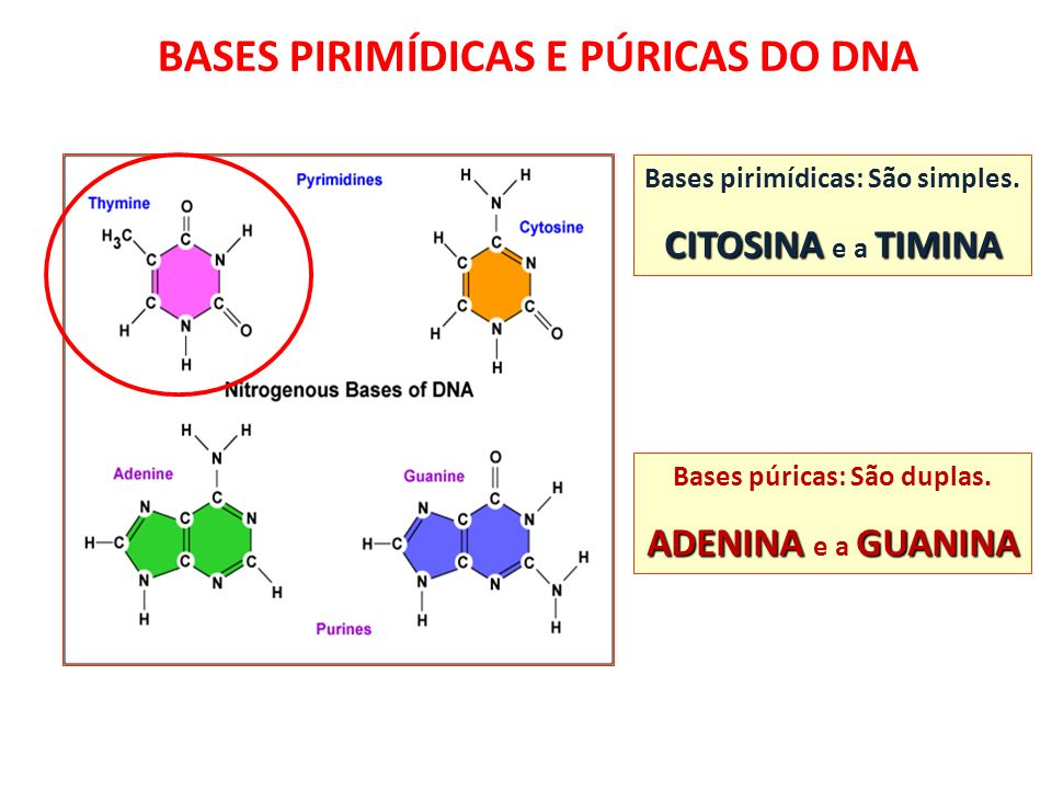 BASES PIRIMÍDICAS E PÚRICAS DO DNA