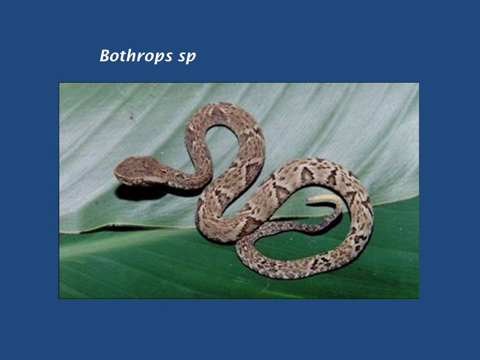 Bothrops sp