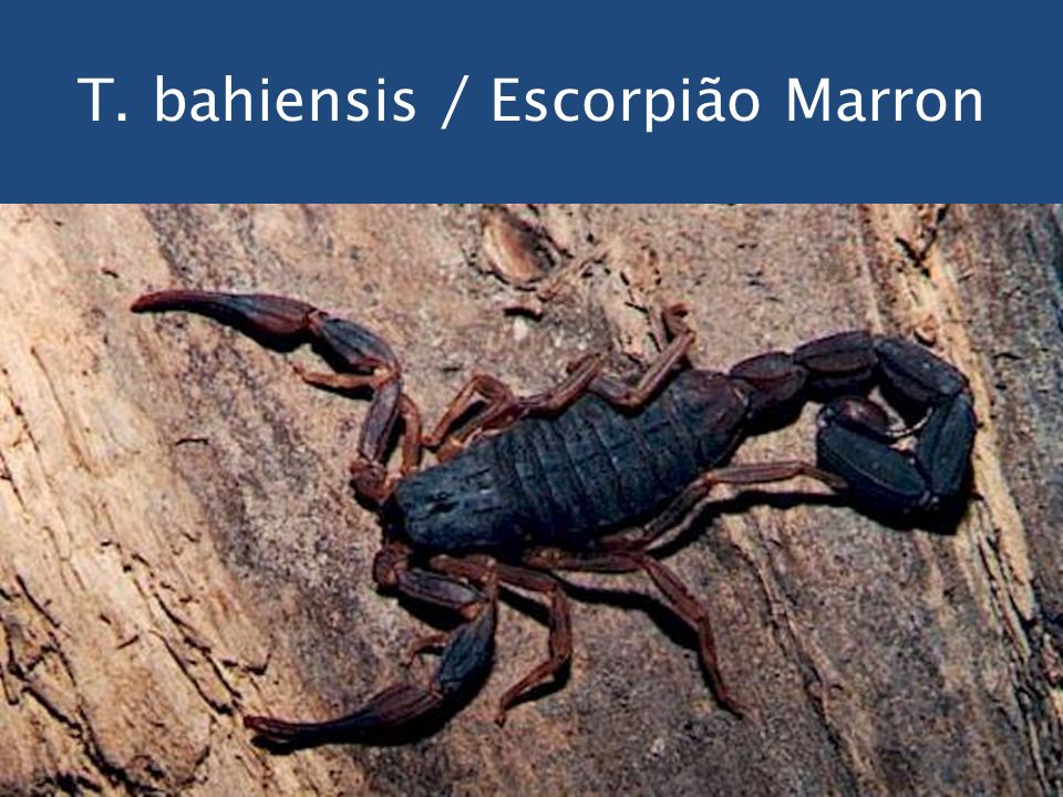 T. bahiensis / Escorpião Marron
