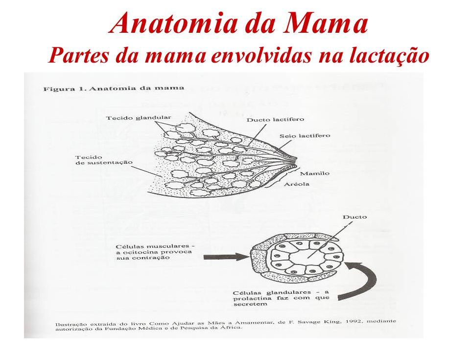 Anatomia da Mama Partes da mama envolvidas na lactação