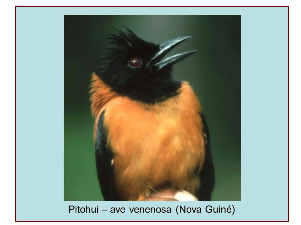 Pitohui – ave venenosa (Nova Guiné)