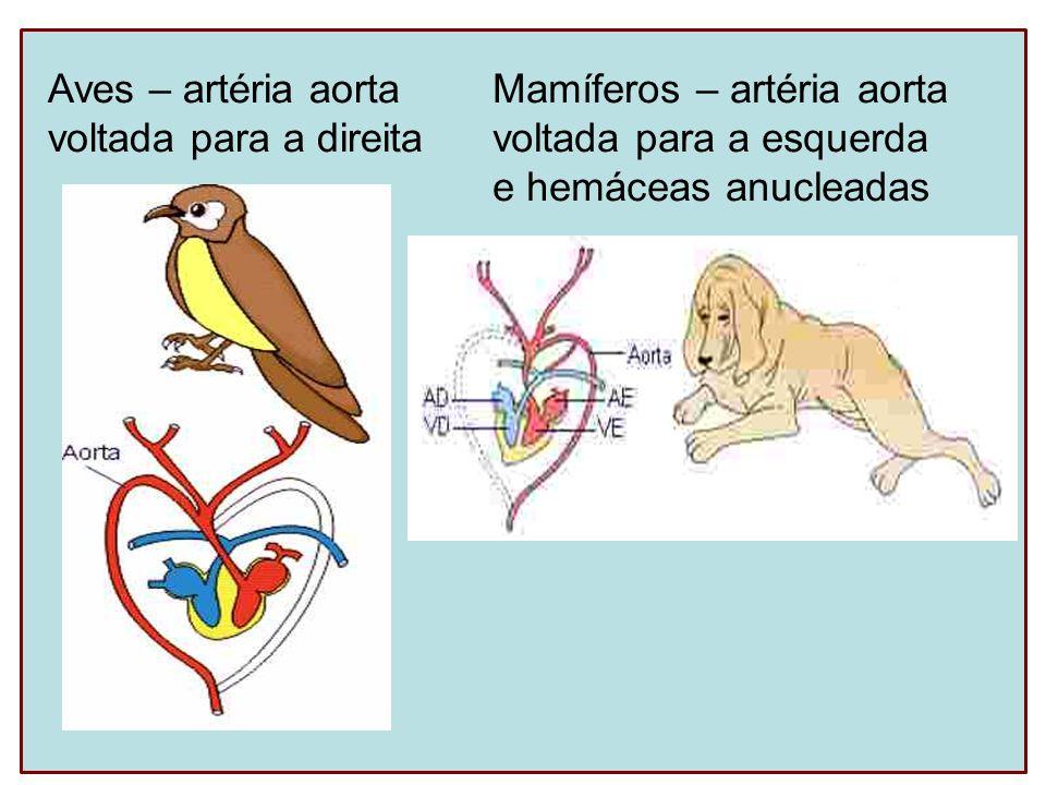 Aves – artéria aorta voltada para a direita. Mamíferos – artéria aorta.