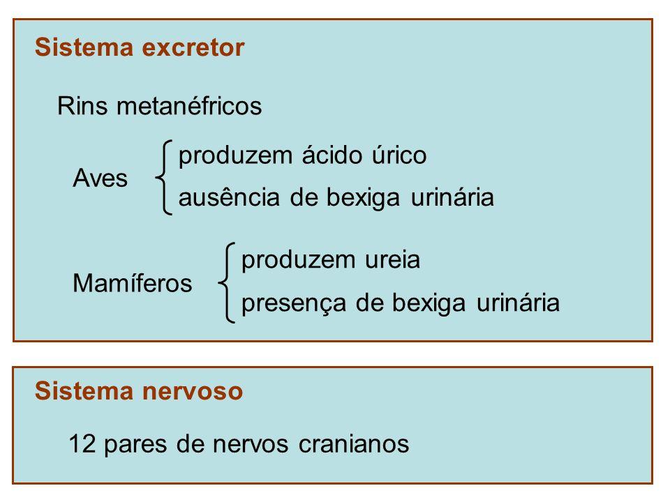 Sistema excretor Rins metanéfricos. Aves. produzem ácido úrico. ausência de bexiga urinária. Mamíferos.