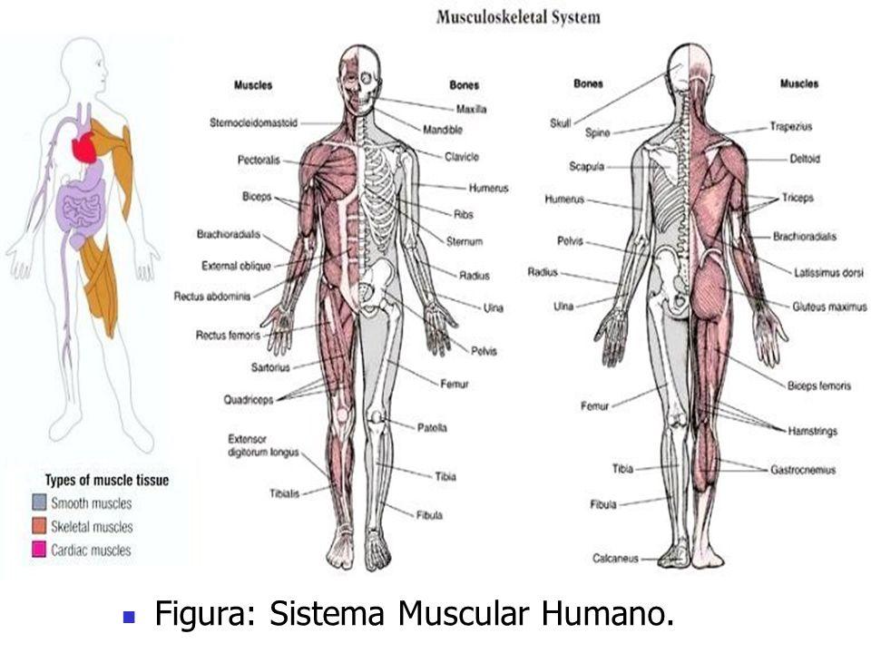 Figura: Sistema Muscular Humano.