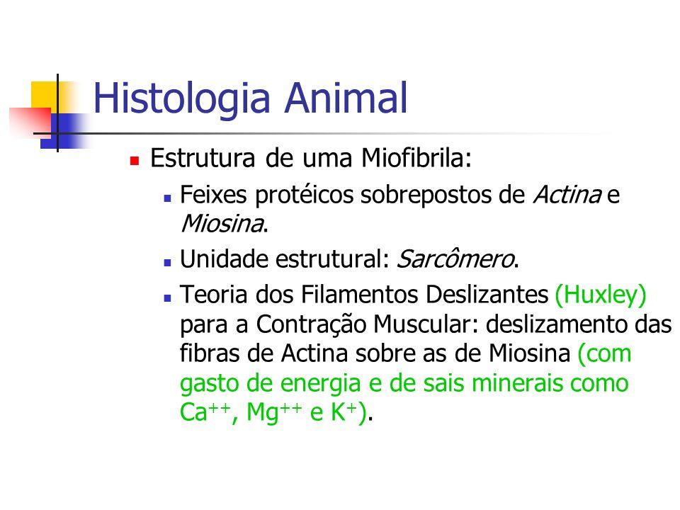 Histologia Animal Estrutura de uma Miofibrila: