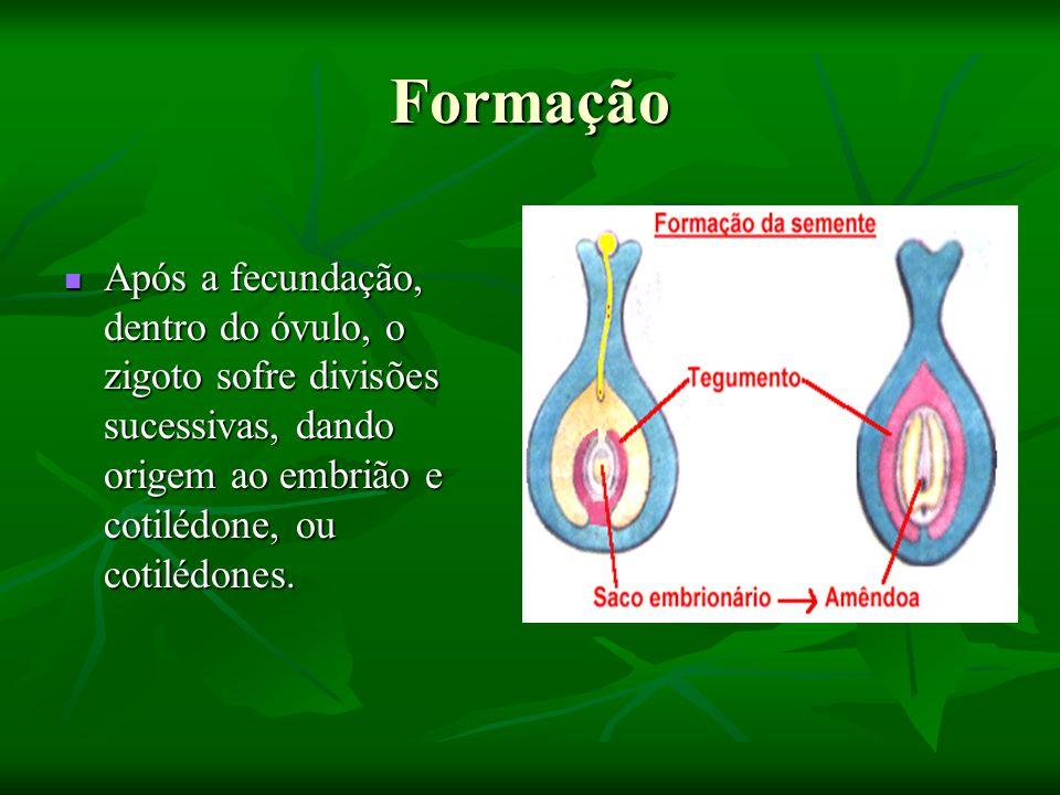 Formação Após a fecundação, dentro do óvulo, o zigoto sofre divisões sucessivas, dando origem ao embrião e cotilédone, ou cotilédones.