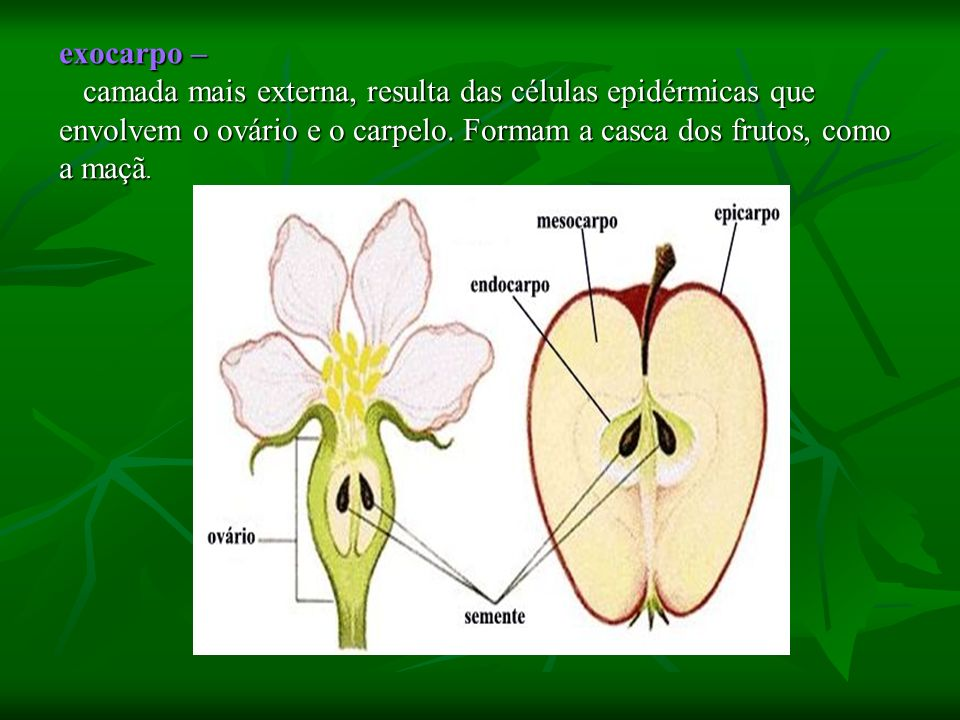 exocarpo –camada mais externa, resulta das células epidérmicas que envolvem o ovário e o carpelo.