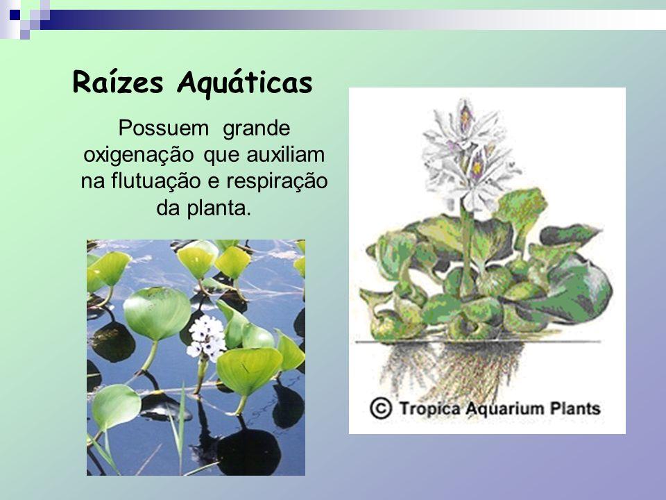 Raízes Aquáticas Possuem grande oxigenação que auxiliam na flutuação e respiração da planta.