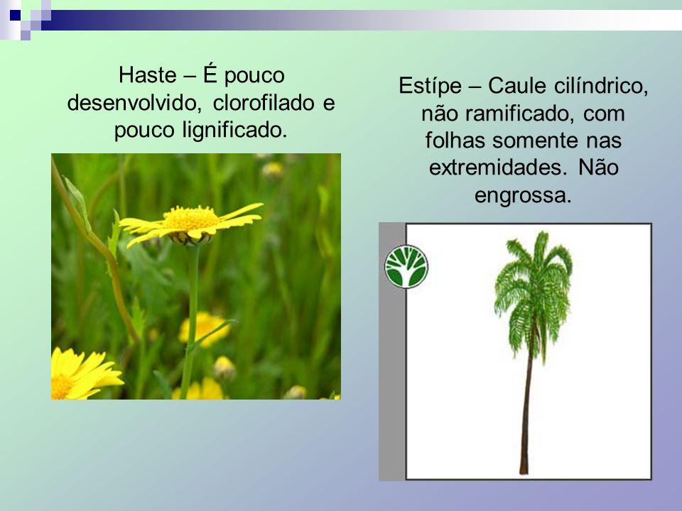 Haste – É pouco desenvolvido, clorofilado e pouco lignificado.