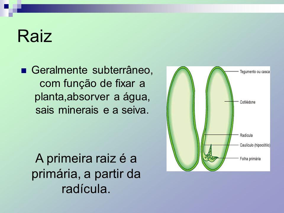 A primeira raiz é a primária, a partir da radícula.