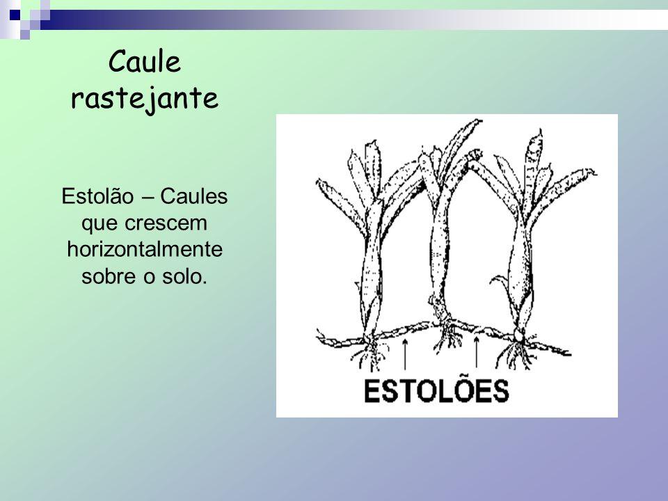 Estolão – Caules que crescem horizontalmente sobre o solo.