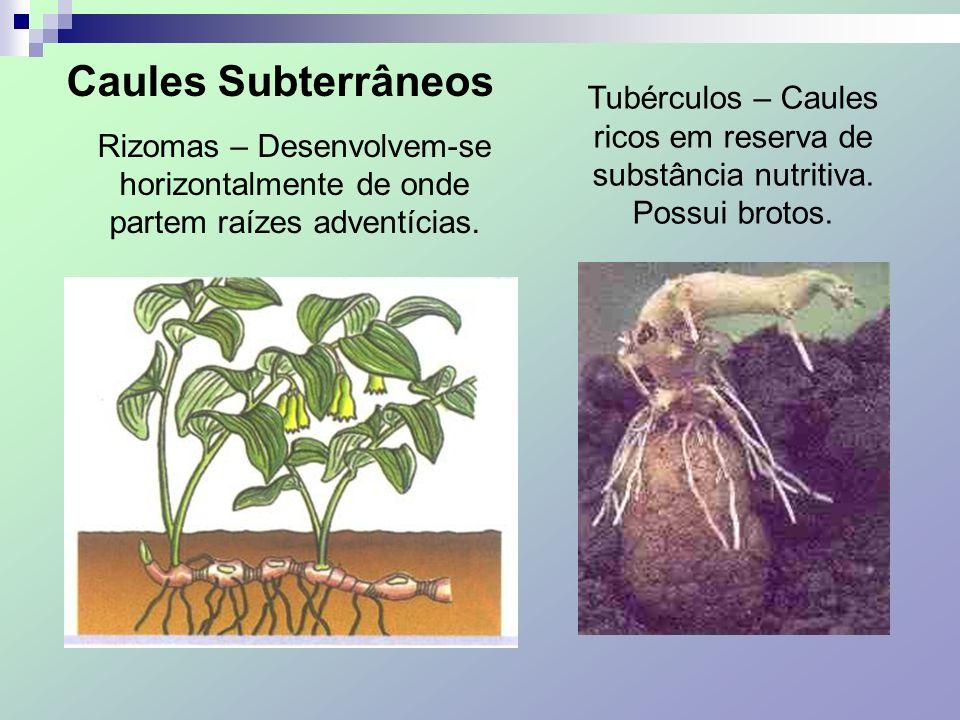 Caules Subterrâneos Rizomas – Desenvolvem-se horizontalmente de onde partem raízes adventícias.