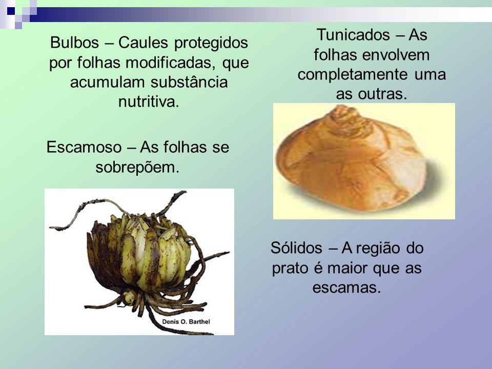 Tunicados – As folhas envolvem completamente uma as outras.