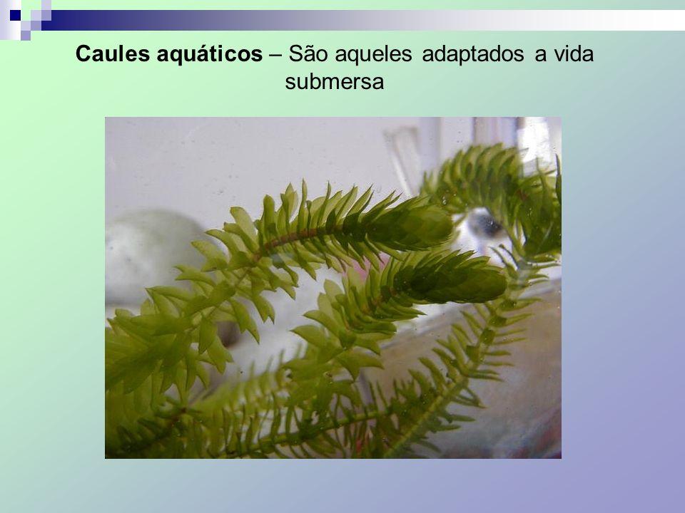 Caules aquáticos – São aqueles adaptados a vida submersa