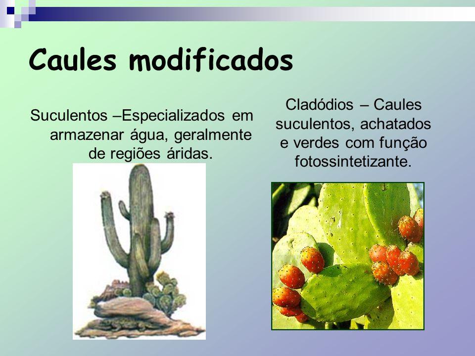 Caules modificados Cladódios – Caules suculentos, achatados e verdes com função fotossintetizante.