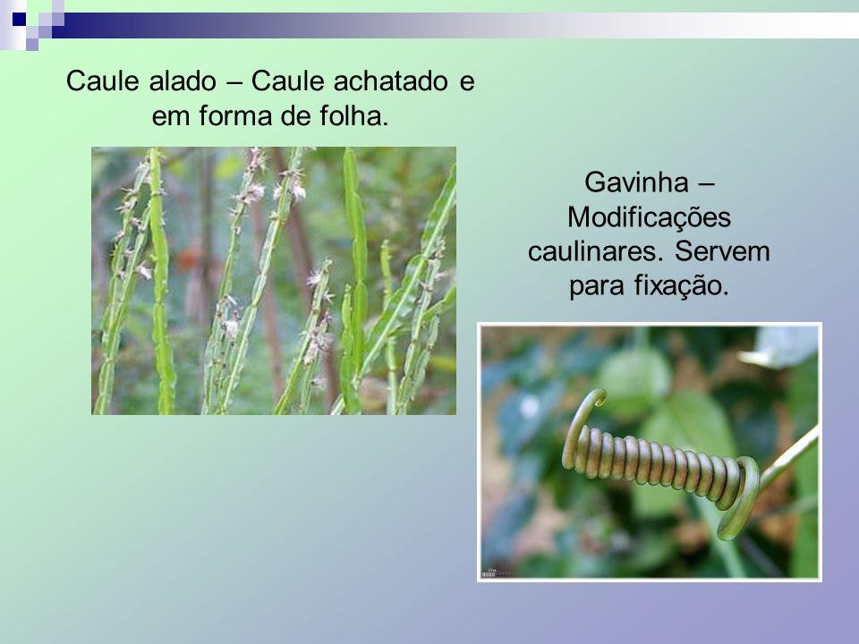 Caule alado – Caule achatado e em forma de folha.