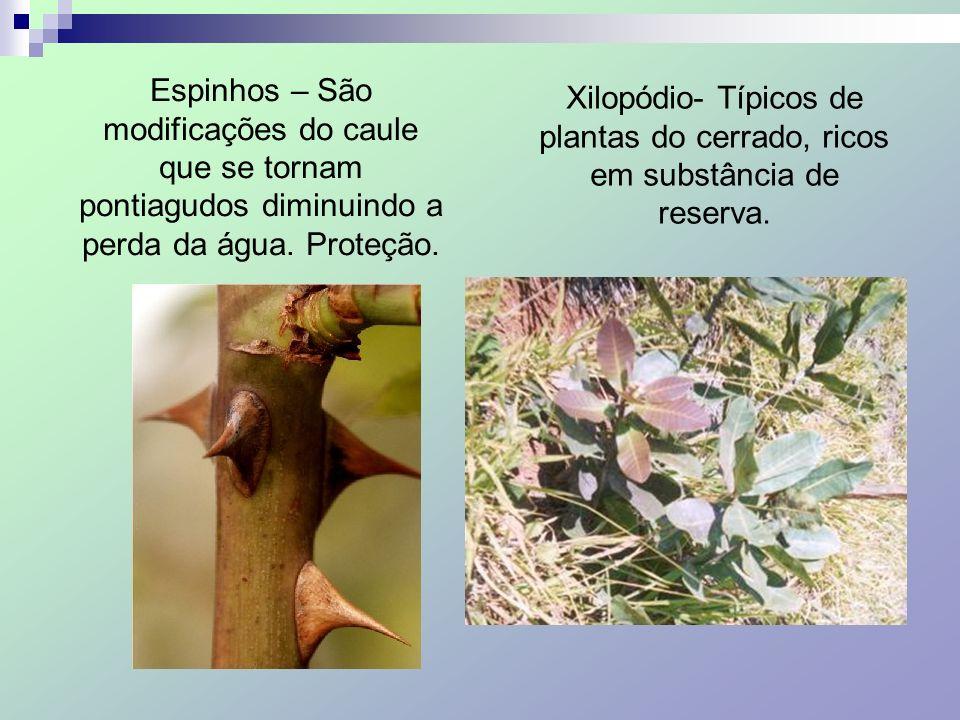 Espinhos – São modificações do caule que se tornam pontiagudos diminuindo a perda da água. Proteção.