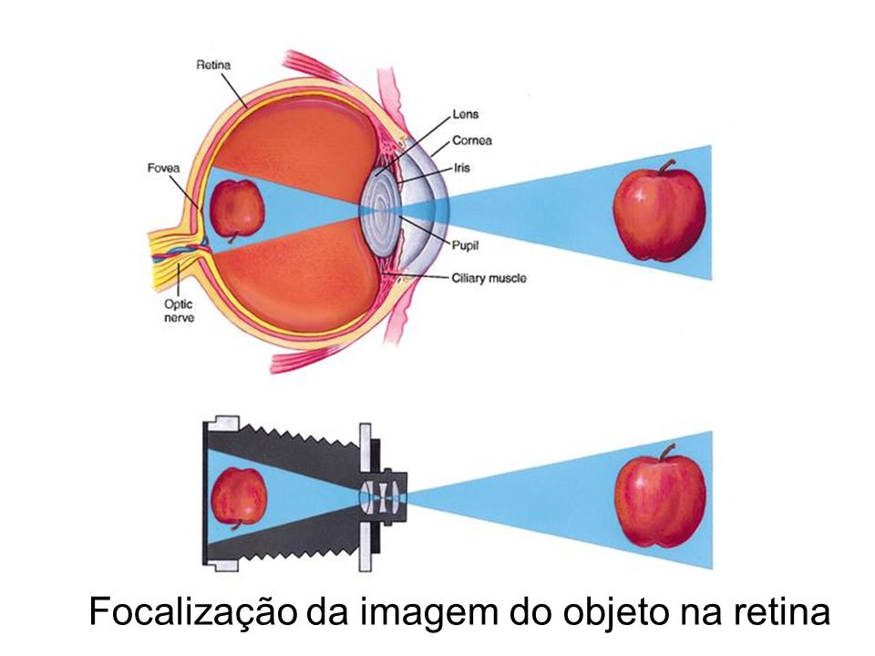 Focalização da imagem do objeto na retina