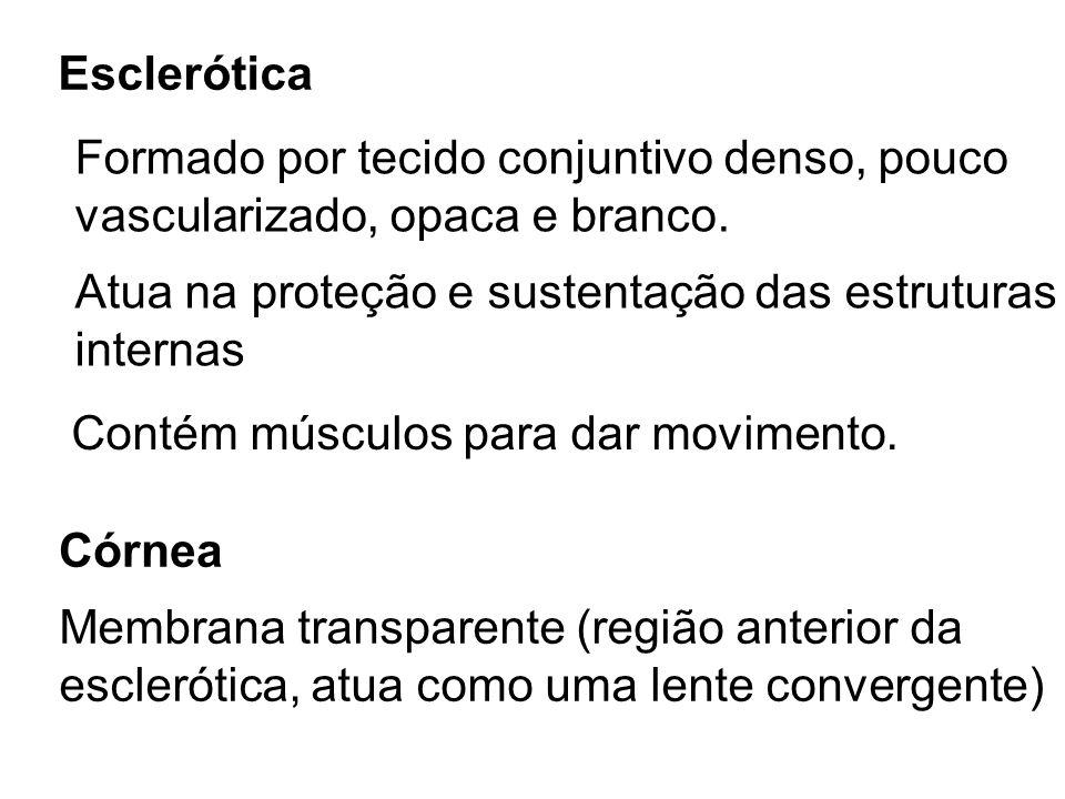 EscleróticaFormado por tecido conjuntivo denso, pouco. vascularizado, opaca e branco. Atua na proteção e sustentação das estruturas.