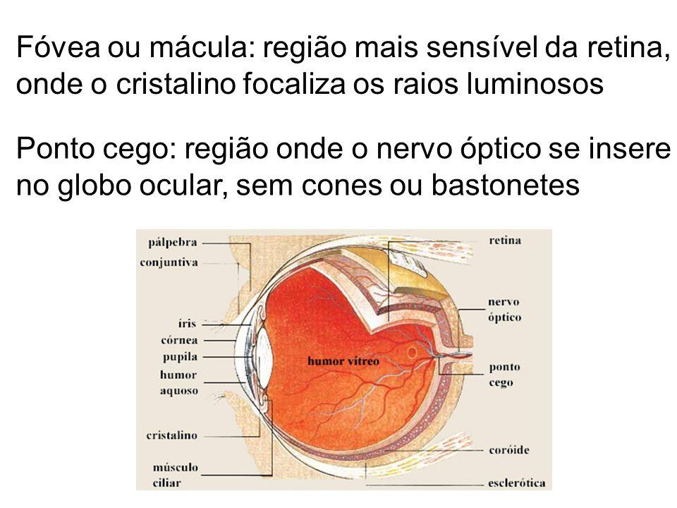 Fóvea ou mácula: região mais sensível da retina,