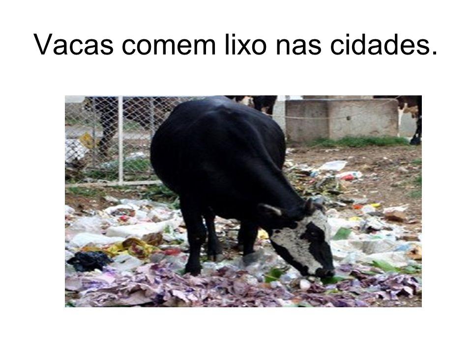Vacas comem lixo nas cidades.