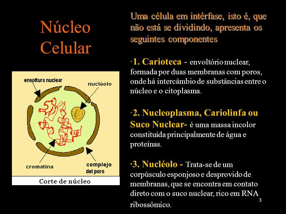 Uma célula em intérfase, isto é, que não está se dividindo, apresenta os seguintes componentes: