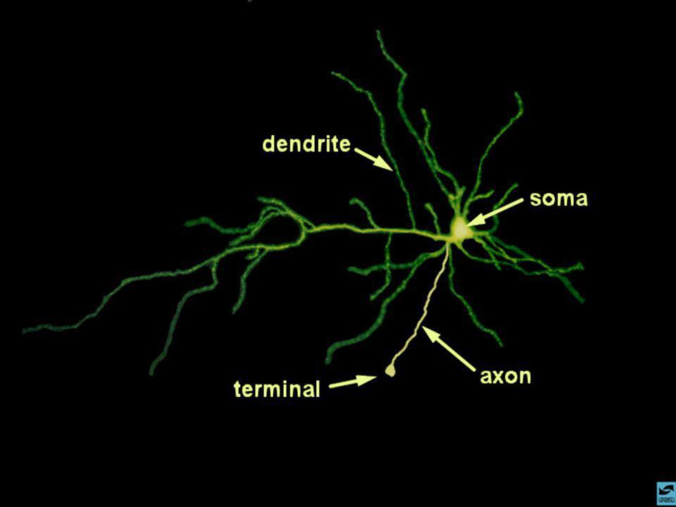 Slide 3: Neuronal Structure