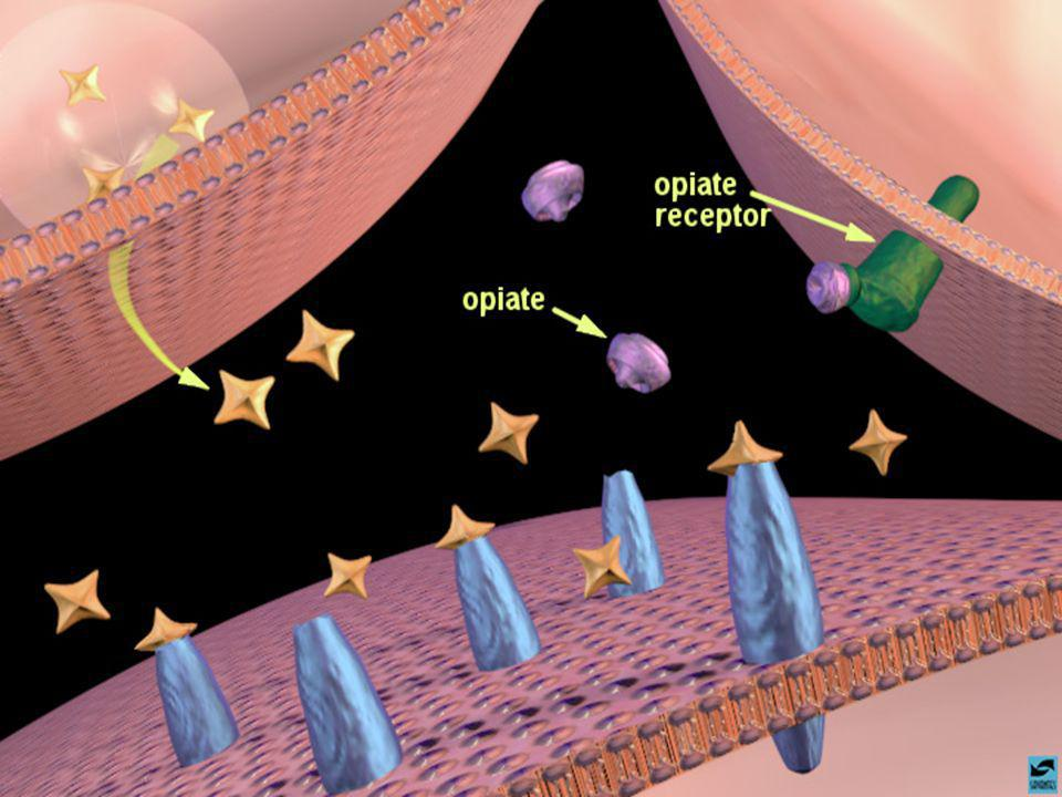 Slide 18: Opiates binding to opiate receptors in the nucleus accumbens: increased dopamine release
