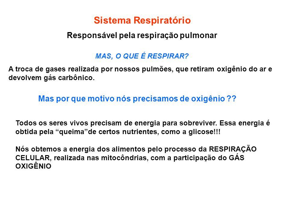 Responsável pela respiração pulmonar