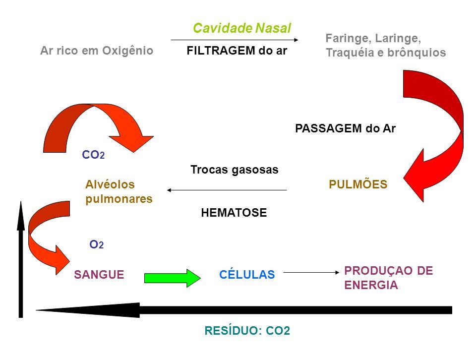 Cavidade Nasal Ar rico em Oxigênio FILTRAGEM do ar. Faringe, Laringe, Traquéia e brônquios.