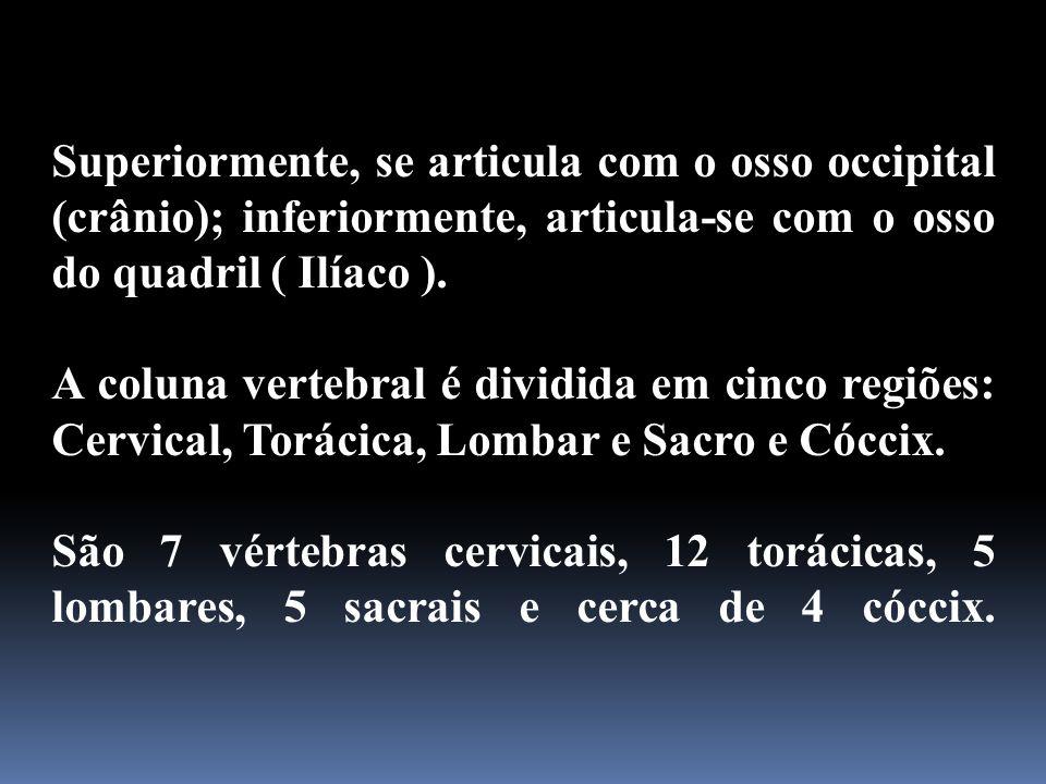 Superiormente, se articula com o osso occipital (crânio); inferiormente, articula-se com o osso do quadril ( Ilíaco ).