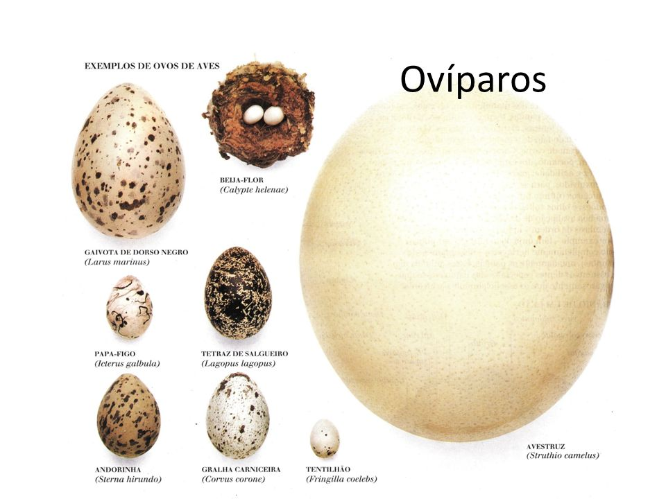 Ovíparos