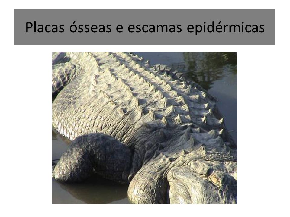 Placas ósseas e escamas epidérmicas