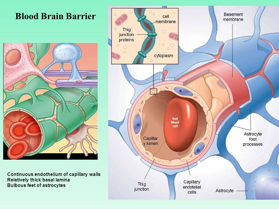 Blood Brain Barrier Continuous endothelium of capillary walls
