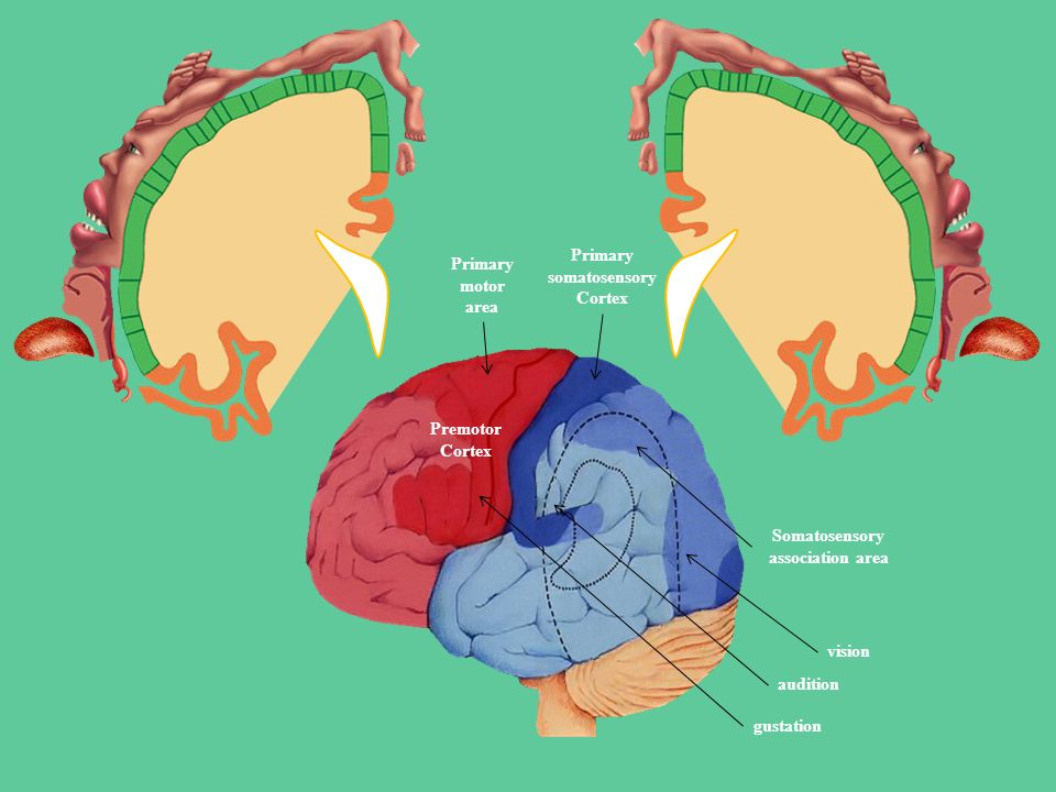 Primary somatosensory Cortex Somatosensory association area