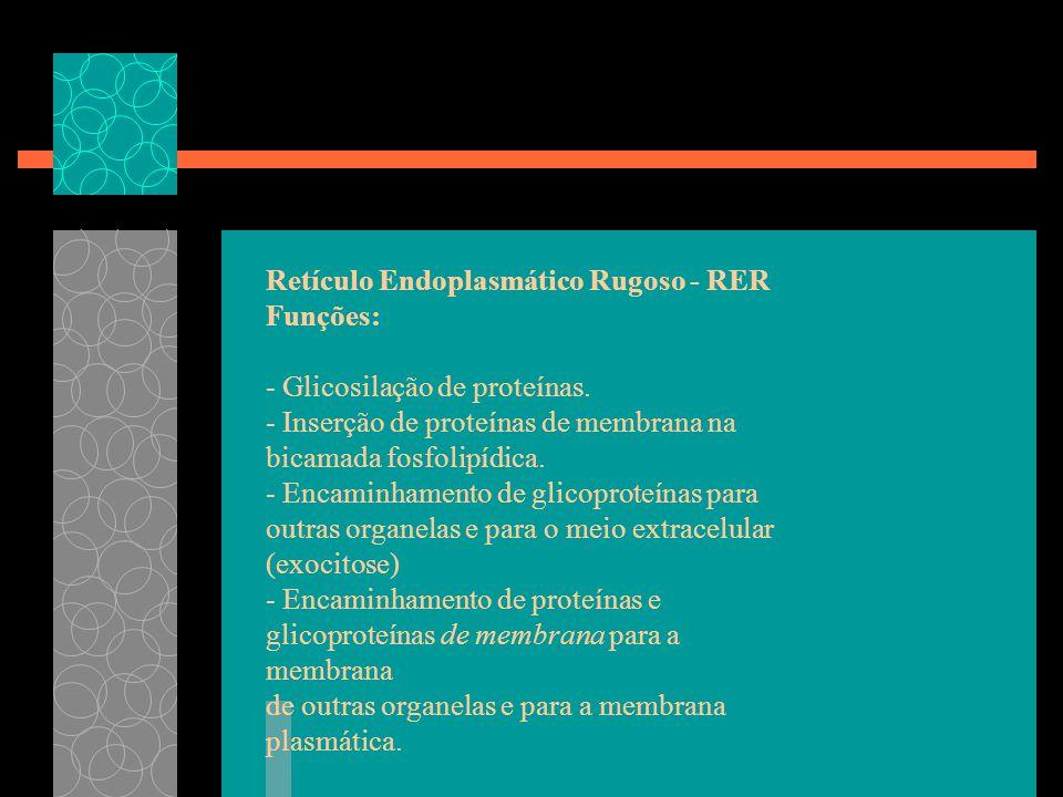 Retículo Endoplasmático Rugoso - RER