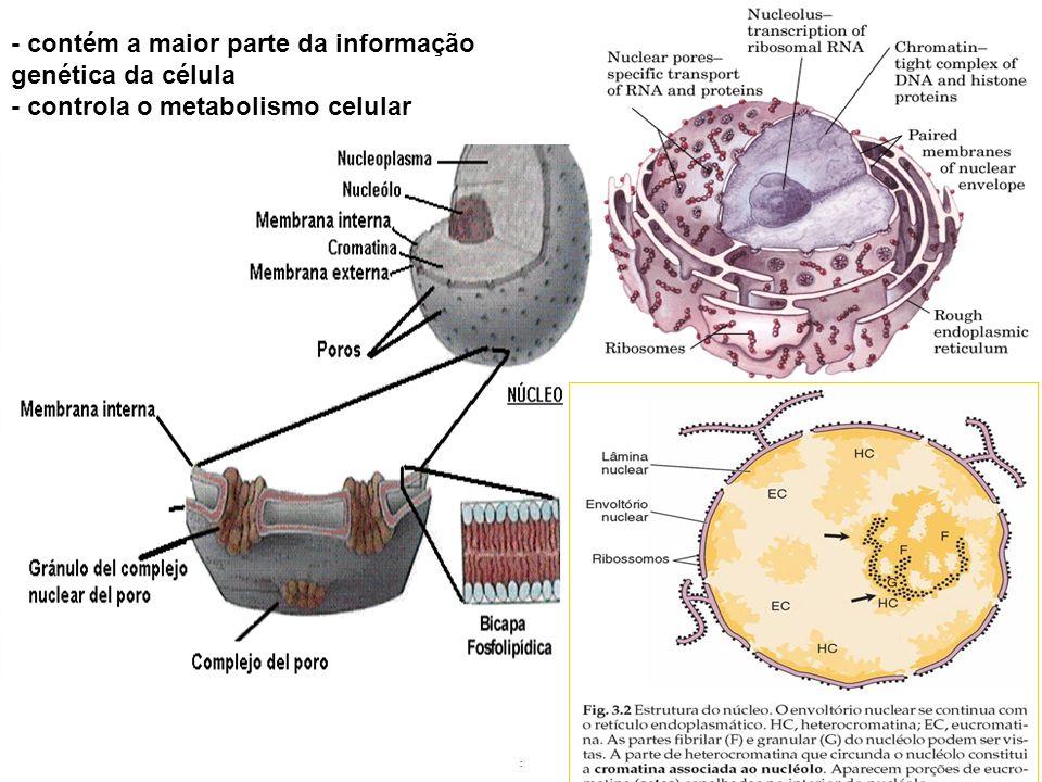 - contém a maior parte da informação genética da célula