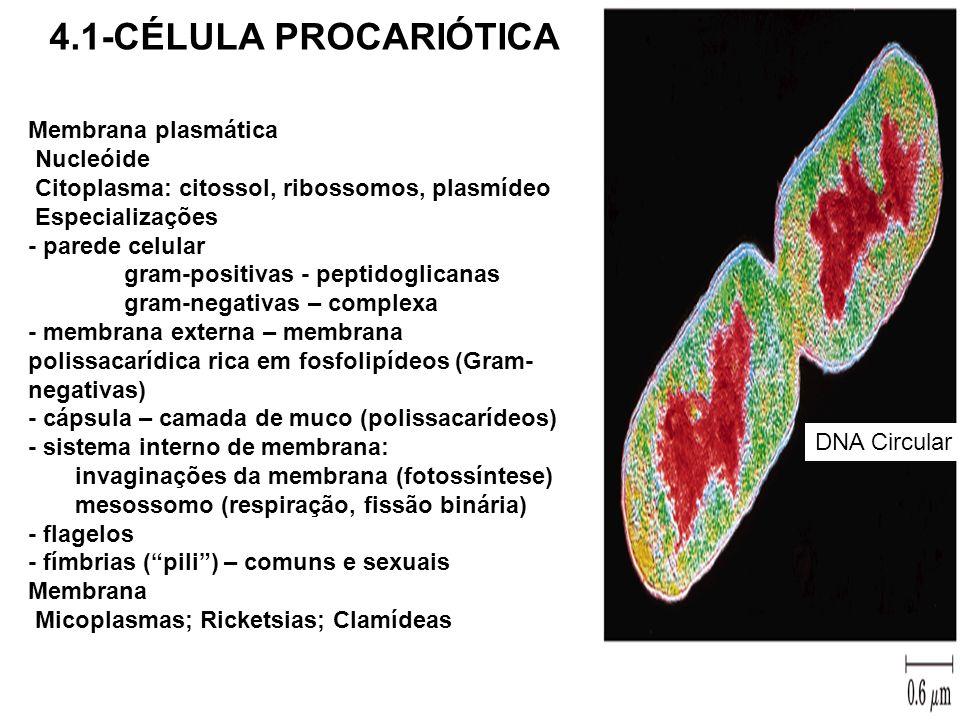 4.1-CÉLULA PROCARIÓTICA Membrana plasmática Nucleóide
