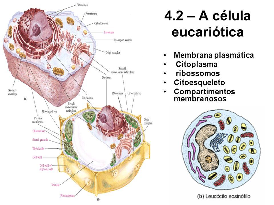 4.2 – A célula eucariótica Membrana plasmática Citoplasma ribossomos