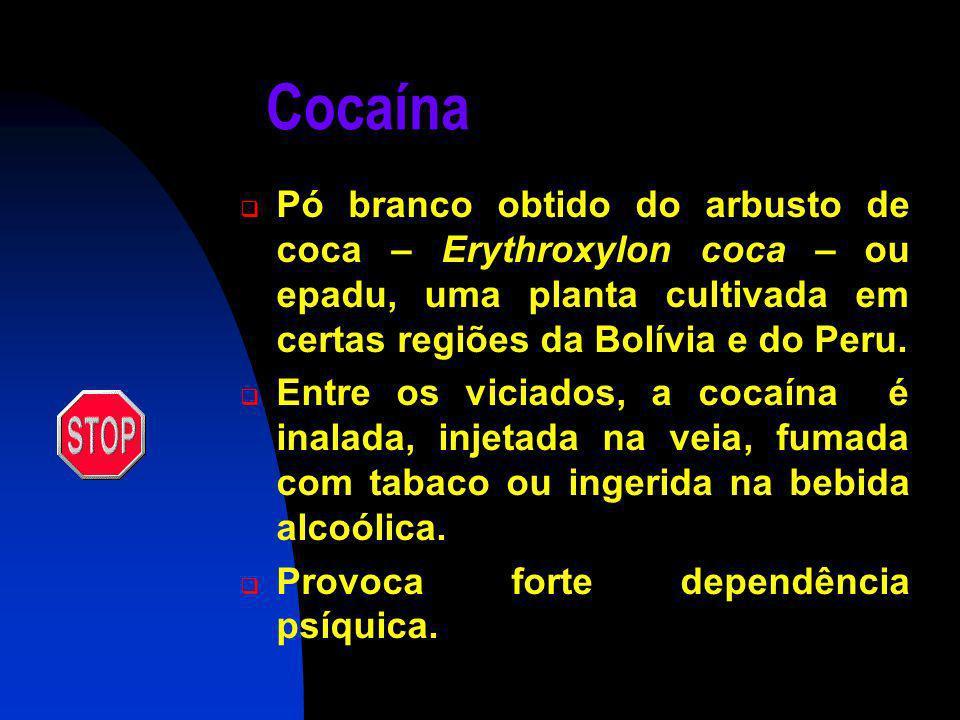 Cocaína Pó branco obtido do arbusto de coca – Erythroxylon coca – ou epadu, uma planta cultivada em certas regiões da Bolívia e do Peru.