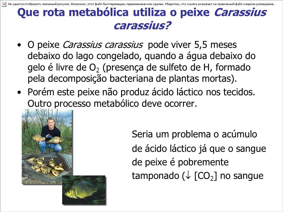 Que rota metabólica utiliza o peixe Carassius carassius