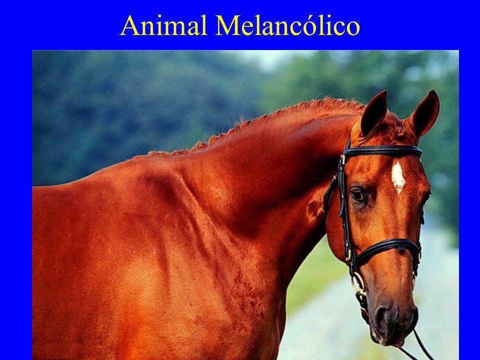 Animal Melancólico