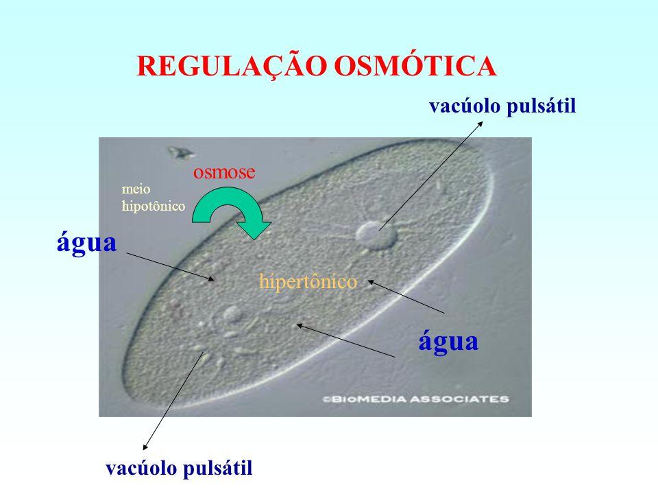 REGULAÇÃO OSMÓTICA água água vacúolo pulsátil osmose hipertônico