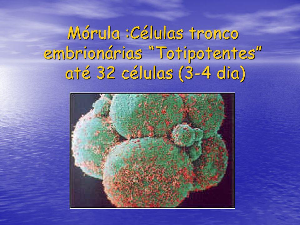 Mórula :Células tronco embrionárias Totipotentes até 32 células (3-4 dia)